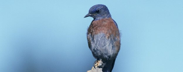 Bluebird meaning - the Spiritual Meaning of Bluebird