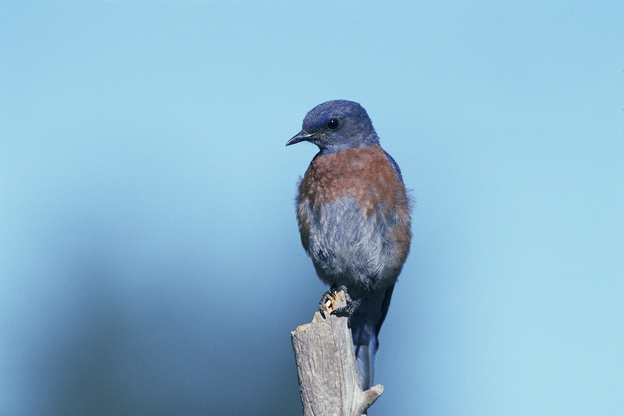 Bluebird meaning the spiritual meaning of bluebird buycottarizona Images