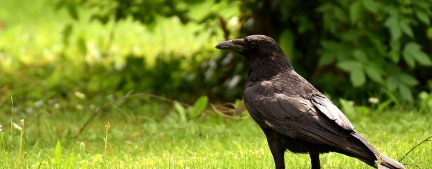 Crow Spirit Animal - What Spiritual significance does it have?