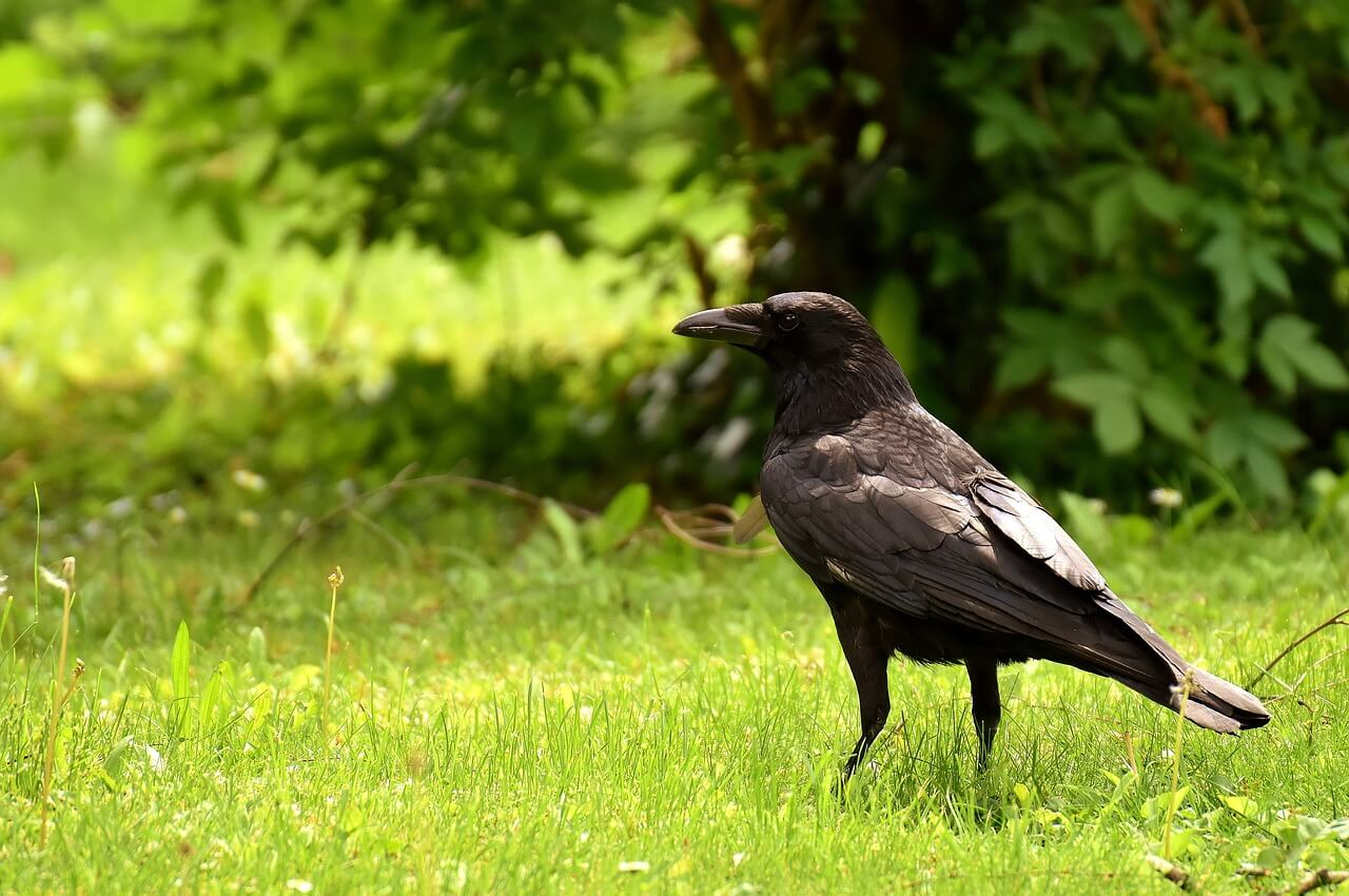 Crow Spirit Animal What Spiritual Significance Does It Have
